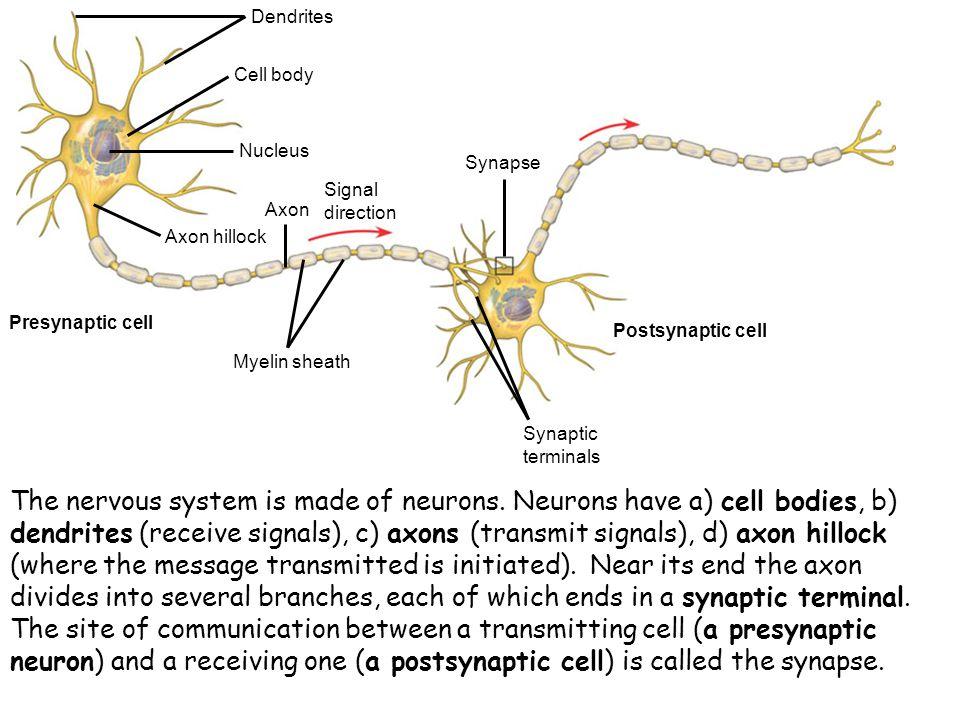 Dendrites Cell body. Nucleus. Axon hillock. Axon. Signal direction. Synapse. Myelin sheath. Synaptic terminals.
