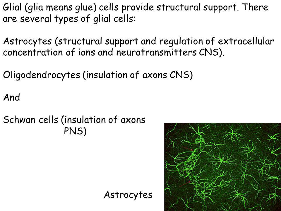 Glial (glia means glue) cells provide structural support