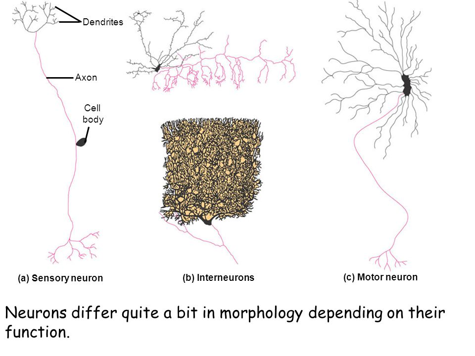 Neurons differ quite a bit in morphology depending on their function.