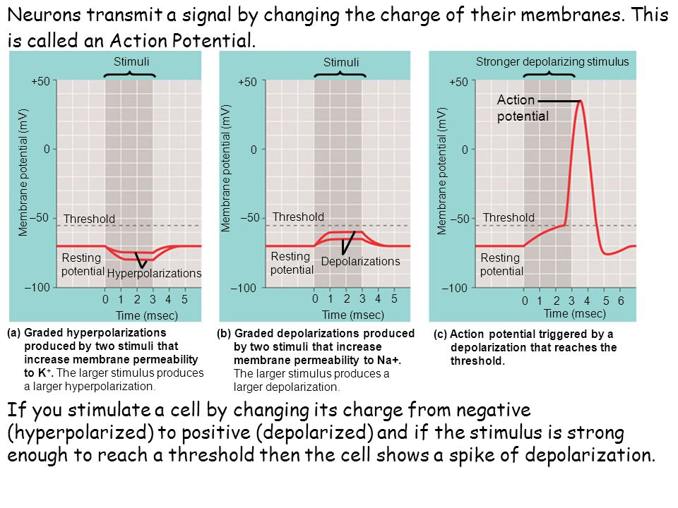 Neurons transmit a signal by changing the charge of their membranes