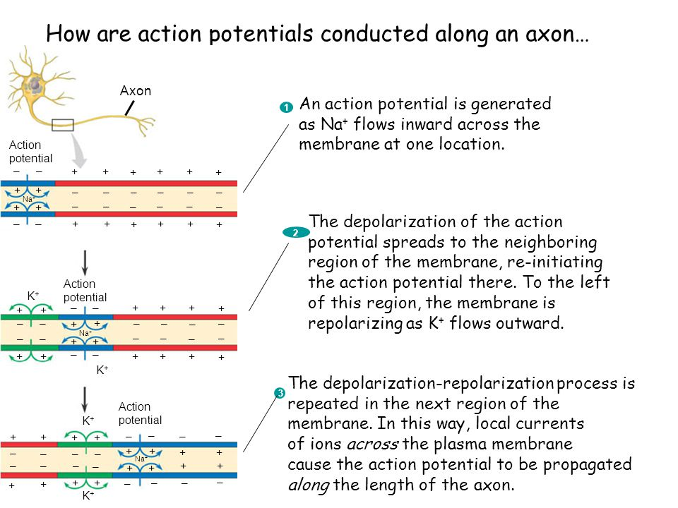 How are action potentials conducted along an axon…
