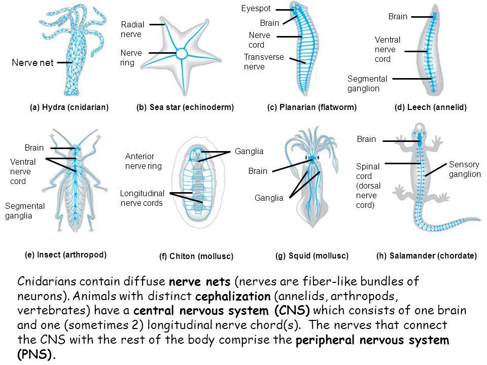 Nerve net Nerve ring. Radial nerve. Eyespot. Brain. Nerve cord. Transverse nerve. Segmental ganglion.