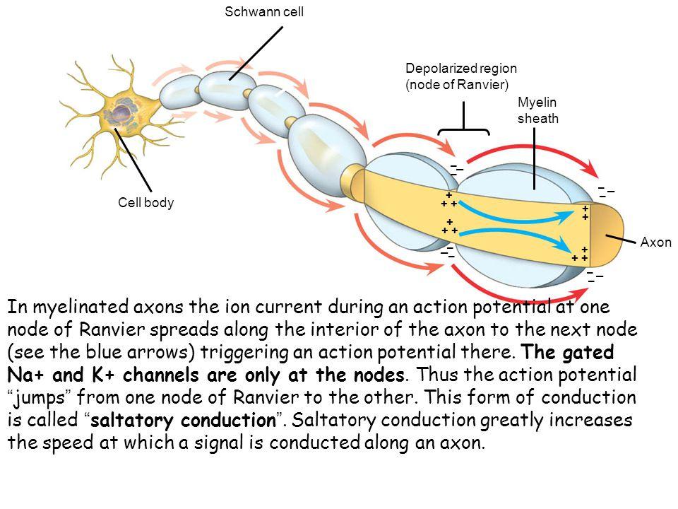 Cell body Schwann cell. Myelin sheath. Axon. Depolarized region (node of Ranvier) + + + + + – –