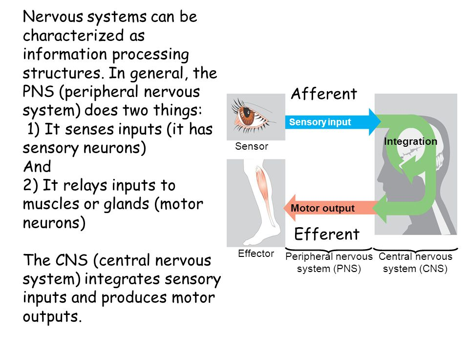 1) It senses inputs (it has sensory neurons) And