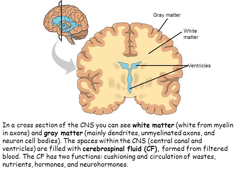 Gray matter White. matter. Ventricles.