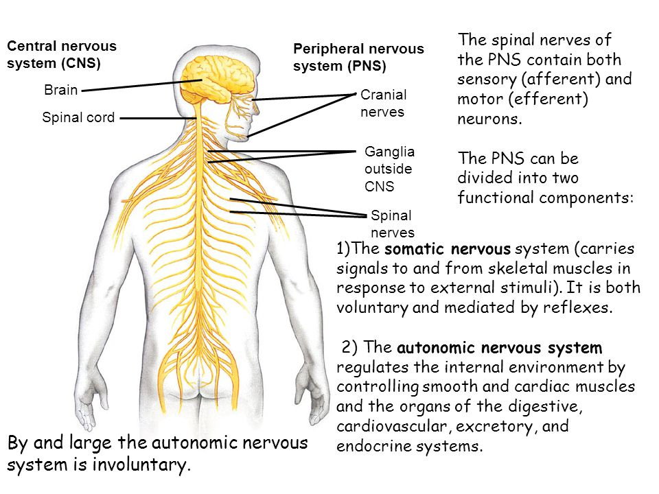 By and large the autonomic nervous system is involuntary.