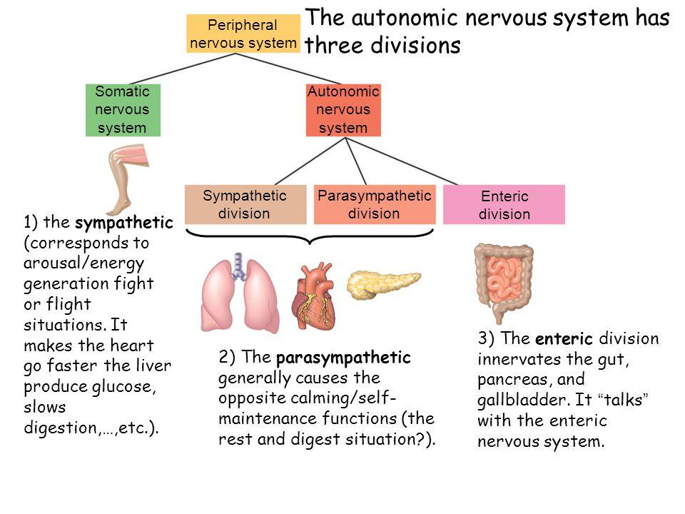 The autonomic nervous system has three divisions