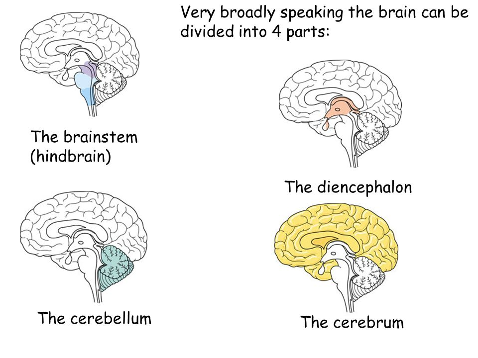 Very broadly speaking the brain can be divided into 4 parts: