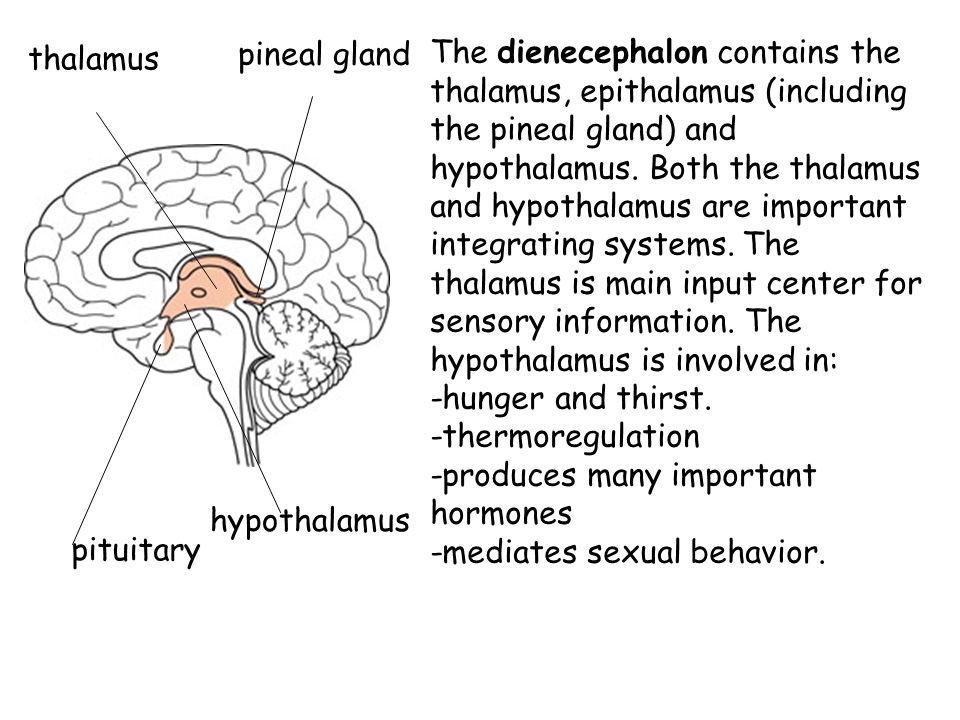 The dienecephalon contains the thalamus, epithalamus (including the pineal gland) and hypothalamus. Both the thalamus and hypothalamus are important integrating systems. The thalamus is main input center for sensory information. The hypothalamus is involved in: