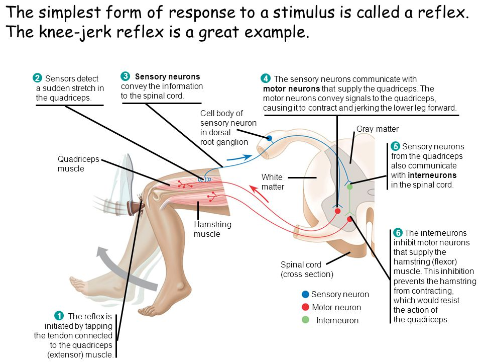 The simplest form of response to a stimulus is called a reflex