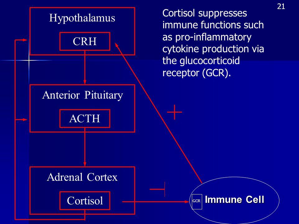Hypothalamus CRH Anterior Pituitary ACTH Adrenal Cortex Cortisol