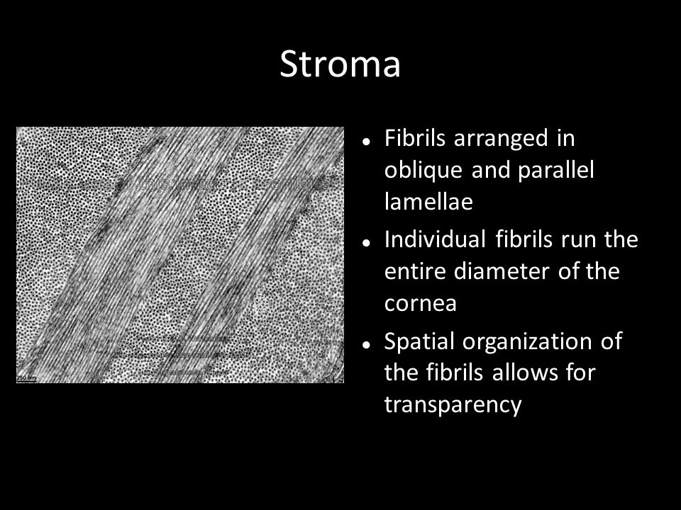 Stroma Fibrils arranged in oblique and parallel lamellae