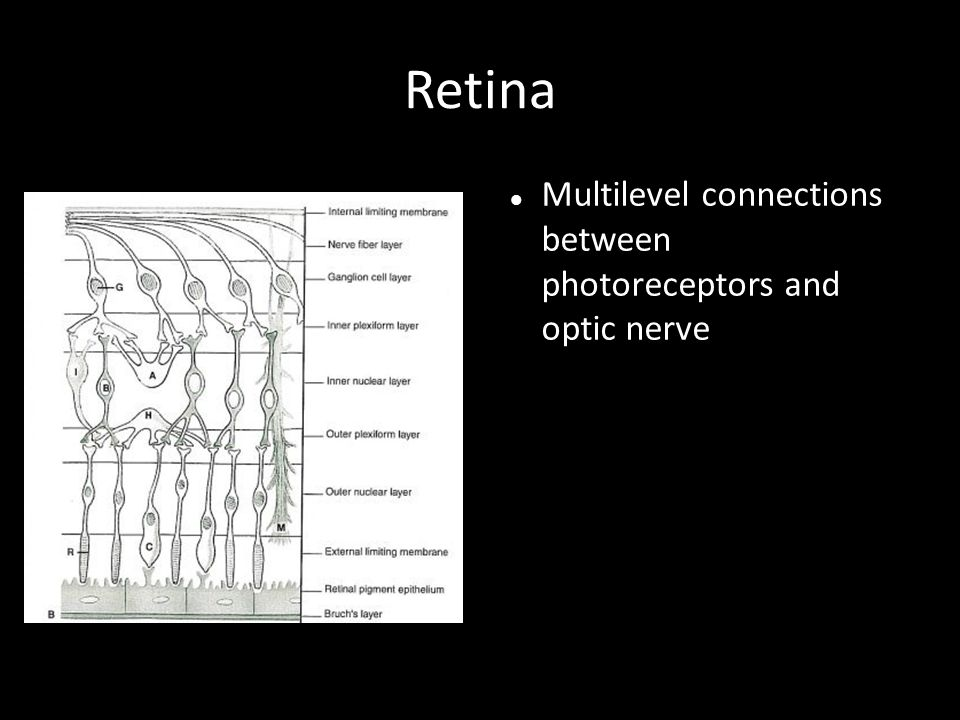 Retina Multilevel connections between photoreceptors and optic nerve