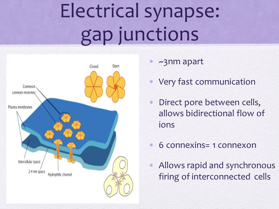Electrical synapse: gap junctions