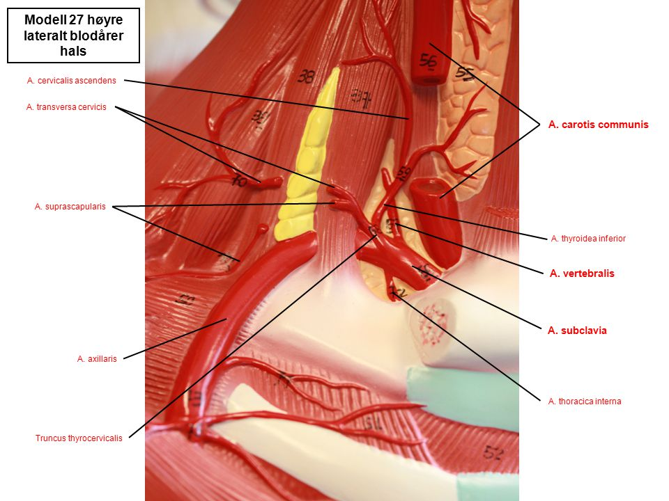 lateralt blodårer hals