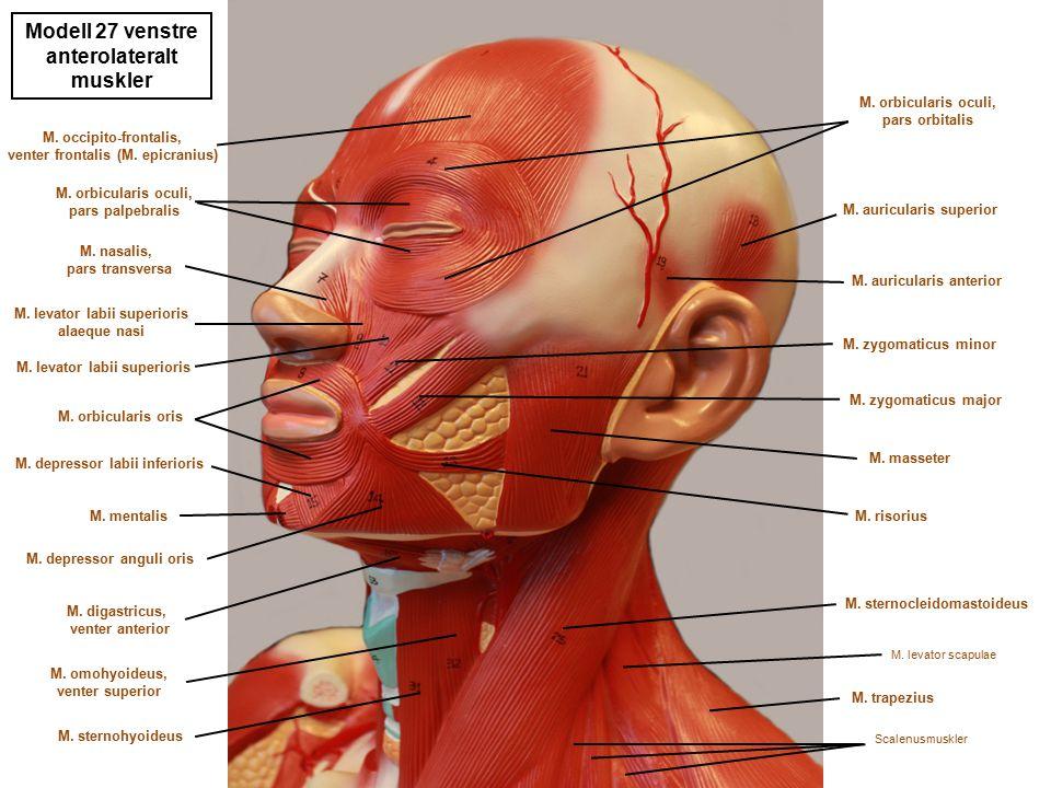Modell 27 venstre anterolateralt muskler