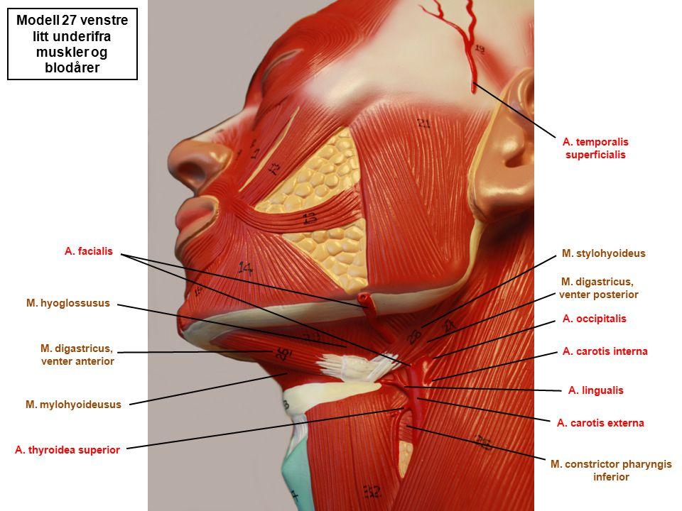 litt underifra muskler og blodårer M. constrictor pharyngis