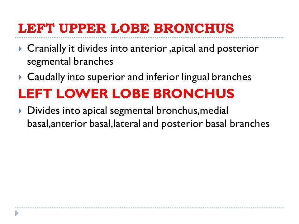 LEFT UPPER LOBE BRONCHUS