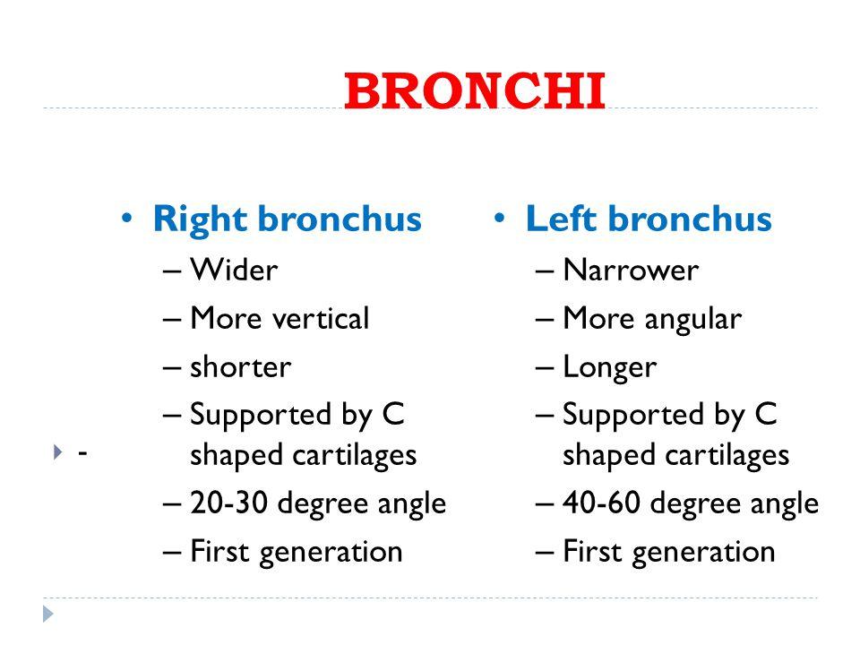 BRONCHI Right bronchus Left bronchus Wider More vertical shorter