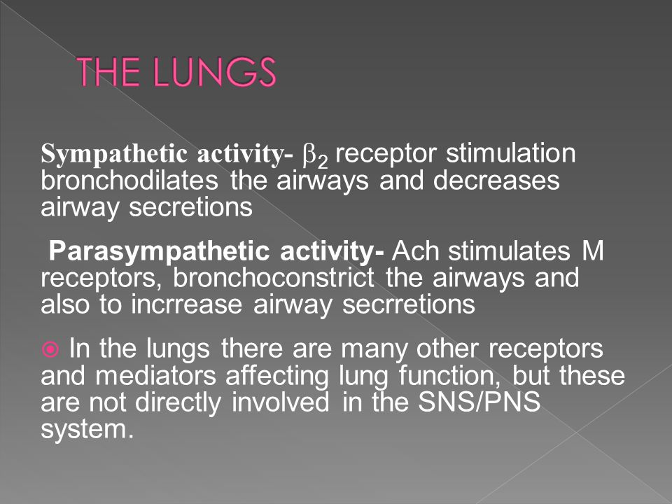 THE LUNGS Sympathetic activity- 2 receptor stimulation bronchodilates the airways and decreases airway secretions.