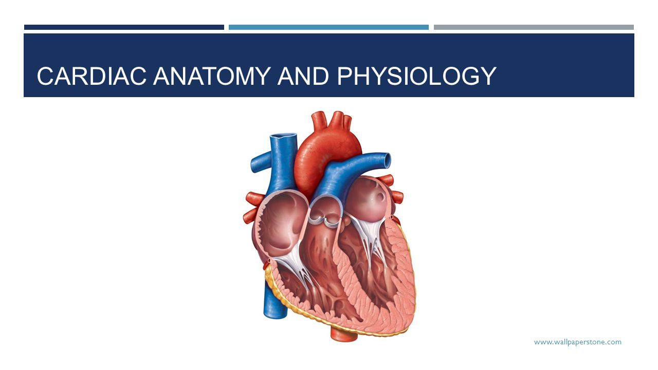 cardiac anatomy and physiology