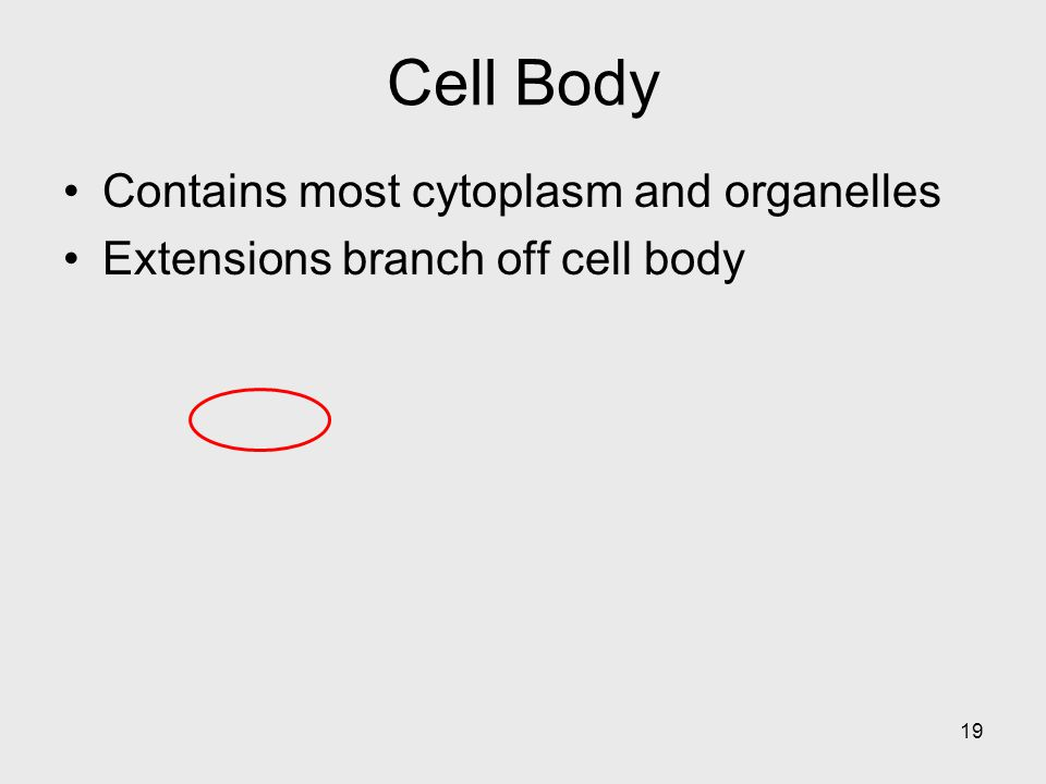 Cell Body Contains most cytoplasm and organelles