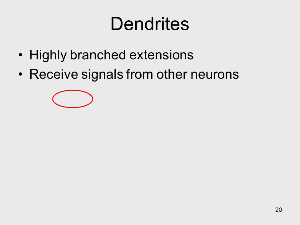 Dendrites Highly branched extensions