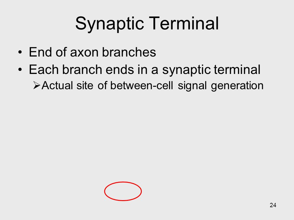 Synaptic Terminal End of axon branches
