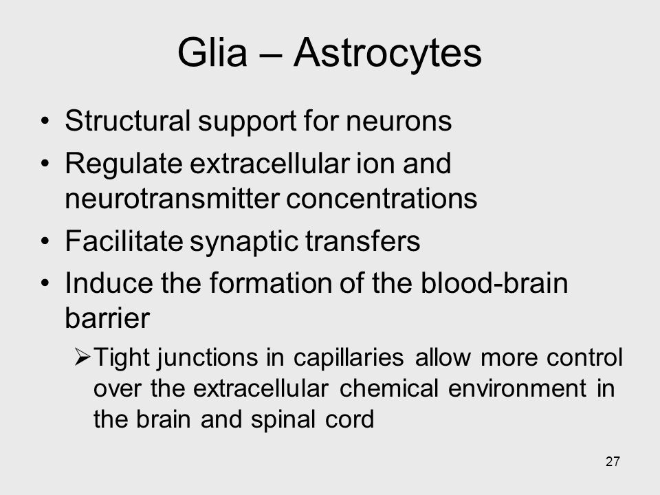 Glia – Astrocytes Structural support for neurons
