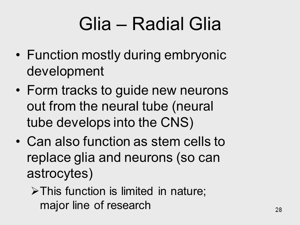 Glia – Radial Glia Function mostly during embryonic development