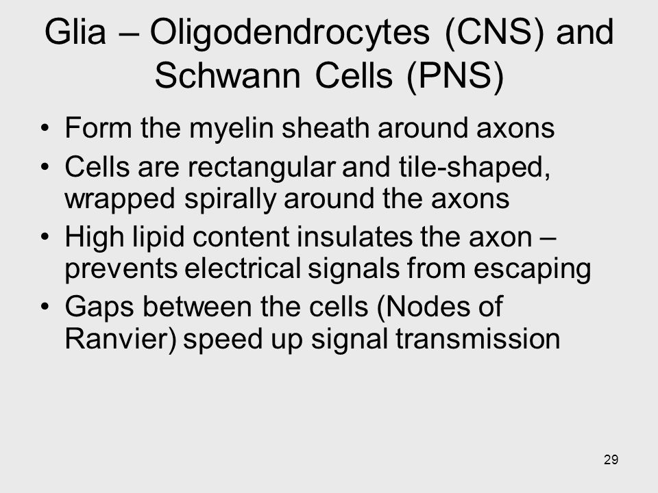 Glia – Oligodendrocytes (CNS) and Schwann Cells (PNS)