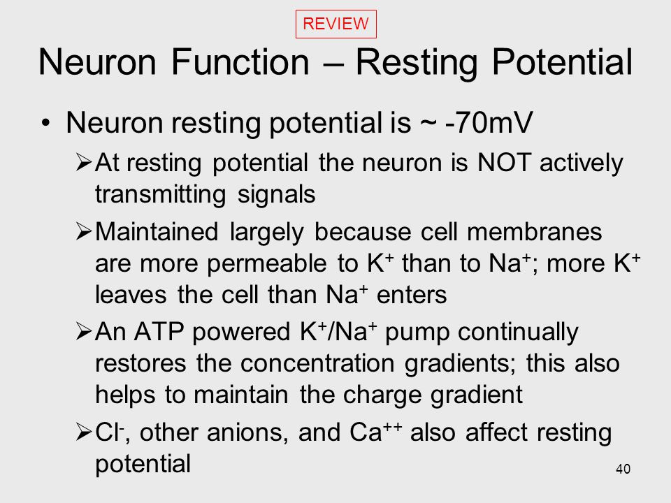 Neuron Function – Resting Potential