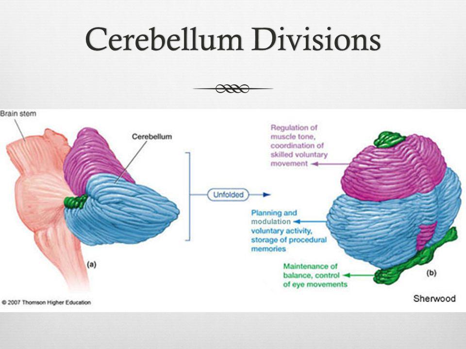 Cerebellum Divisions
