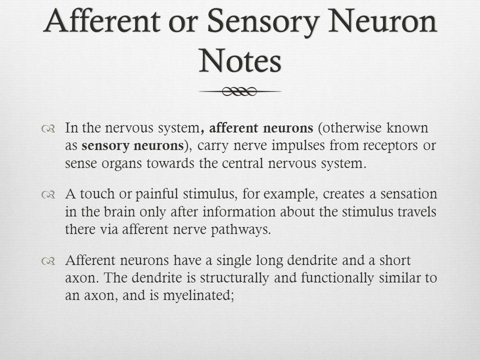 Afferent or Sensory Neuron Notes