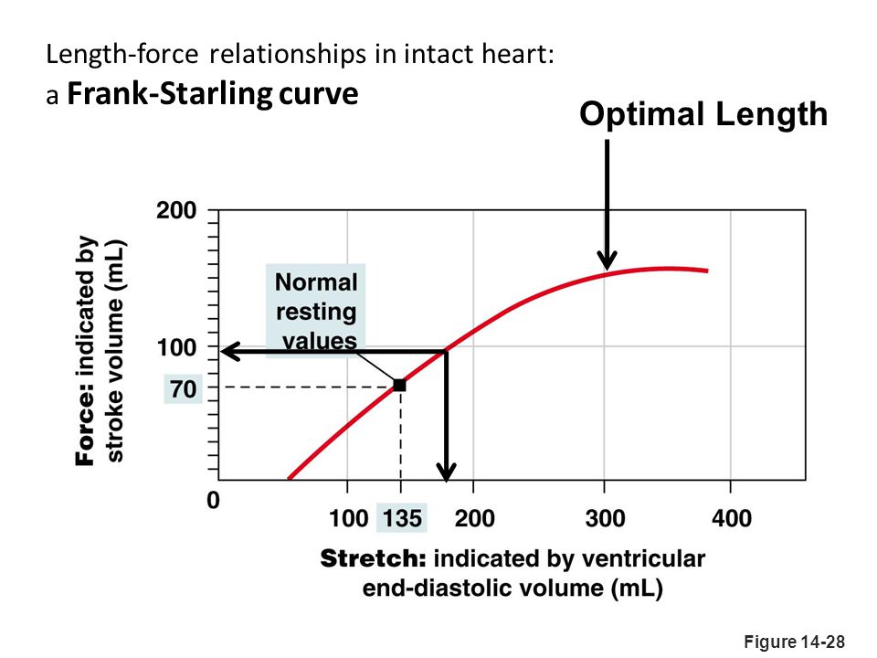 Optimal Length Length-force relationships in intact heart: