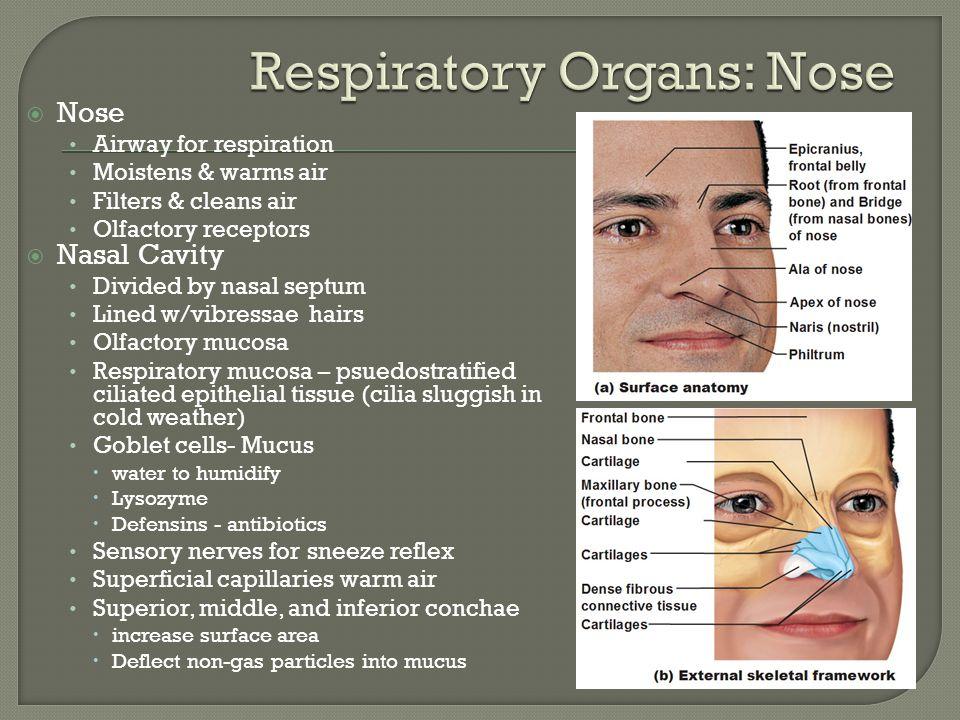 Respiratory Organs: Nose