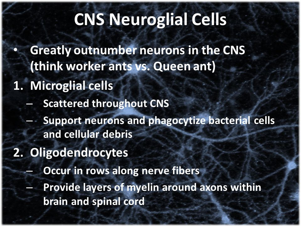 CNS Neuroglial Cells Greatly outnumber neurons in the CNS (think worker ants vs. Queen ant) Microglial cells.