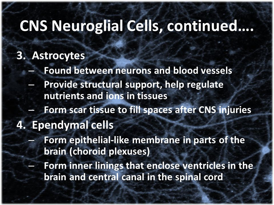 CNS Neuroglial Cells, continued….