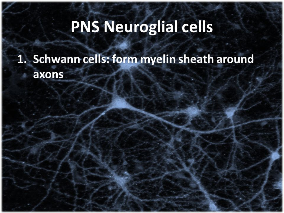 PNS Neuroglial cells Schwann cells: form myelin sheath around axons