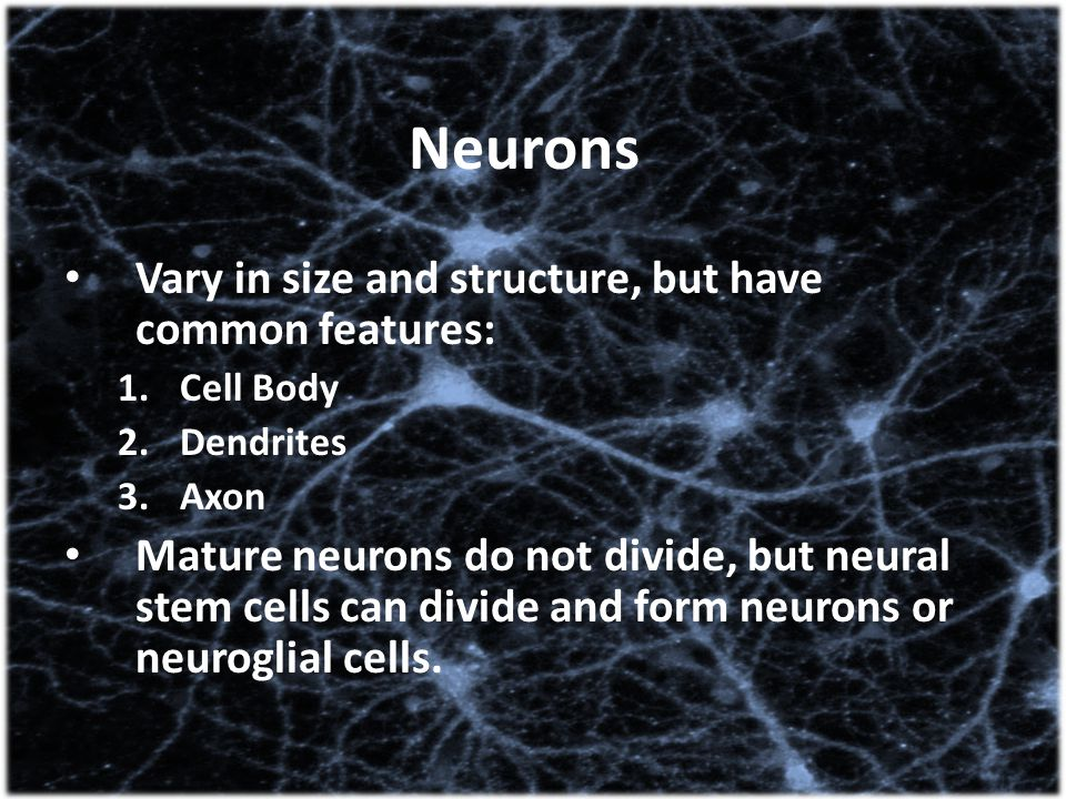 Neurons Vary in size and structure, but have common features: