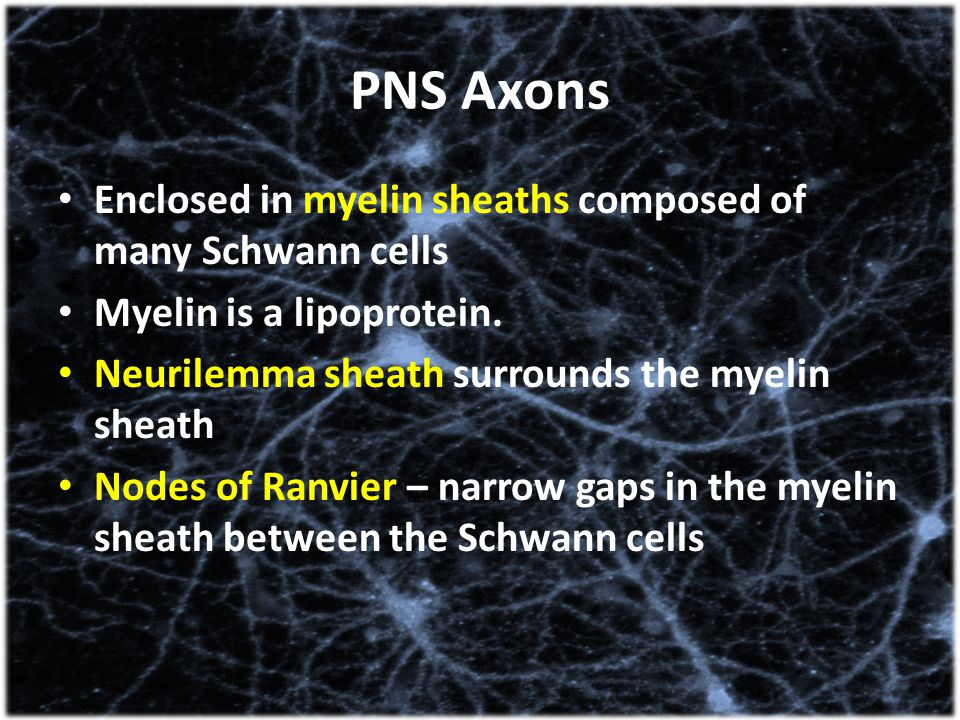 PNS Axons Enclosed in myelin sheaths composed of many Schwann cells