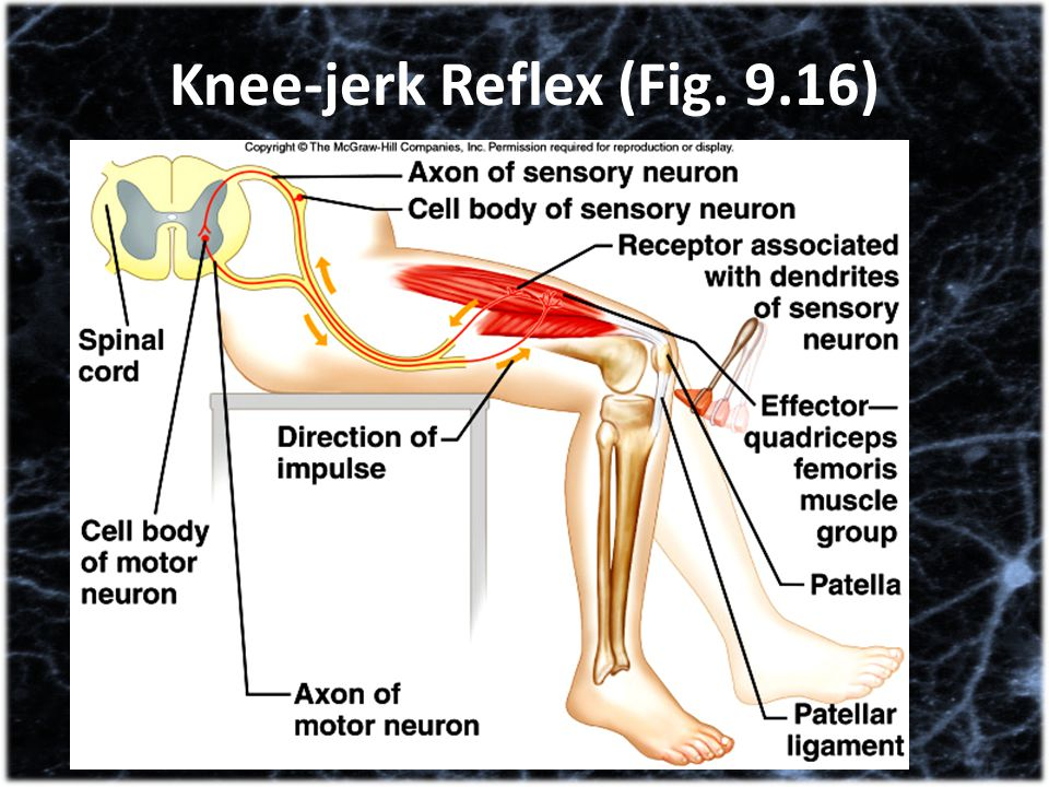 Knee-jerk Reflex (Fig. 9.16)