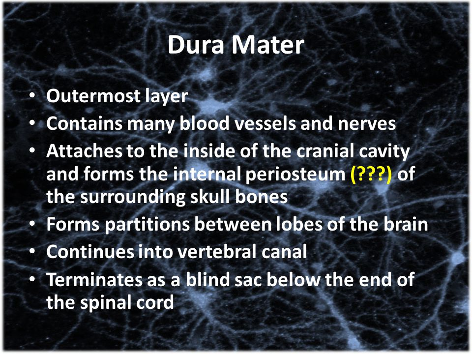 Dura Mater Outermost layer Contains many blood vessels and nerves