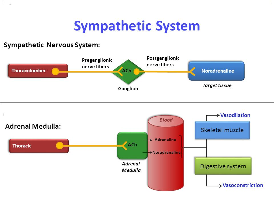 Sympathetic System Sympathetic Nervous System: Adrenal Medulla: