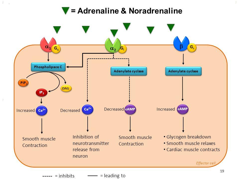 = Adrenaline & Noradrenaline