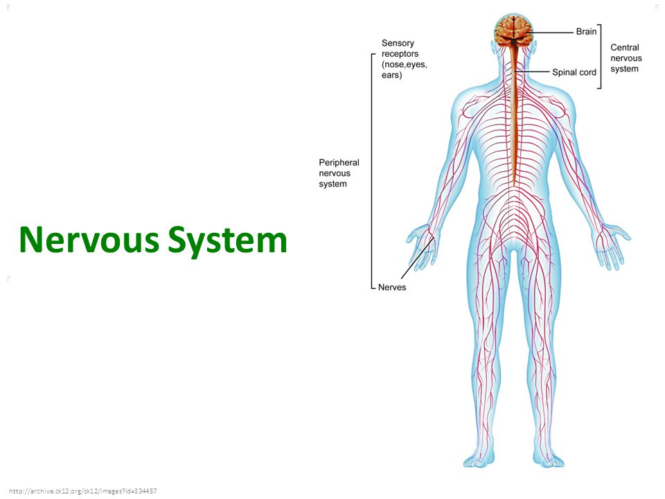 Nervous System http://archive.ck12.org/ck12/images id=334457