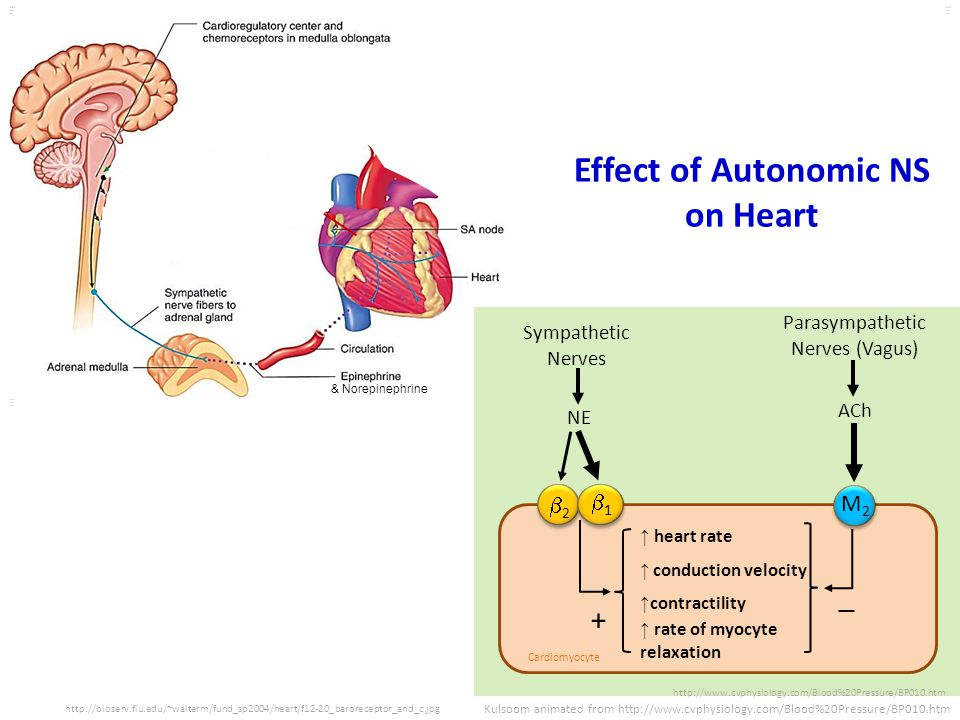 Effect of Autonomic NS on Heart