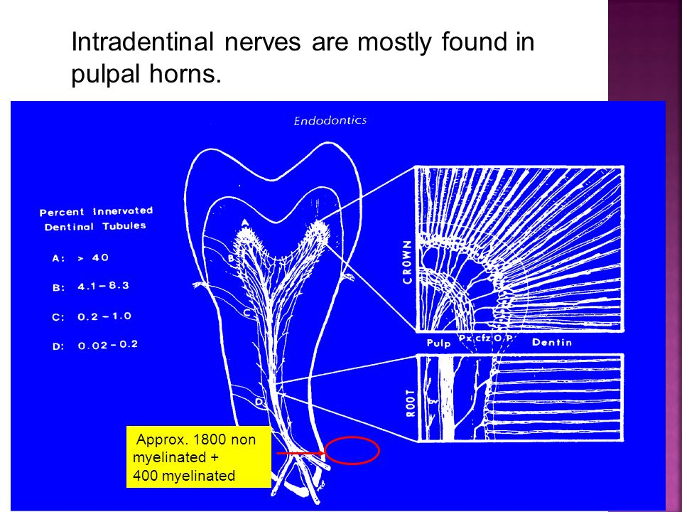 Intradentinal nerves are mostly found in pulpal horns.