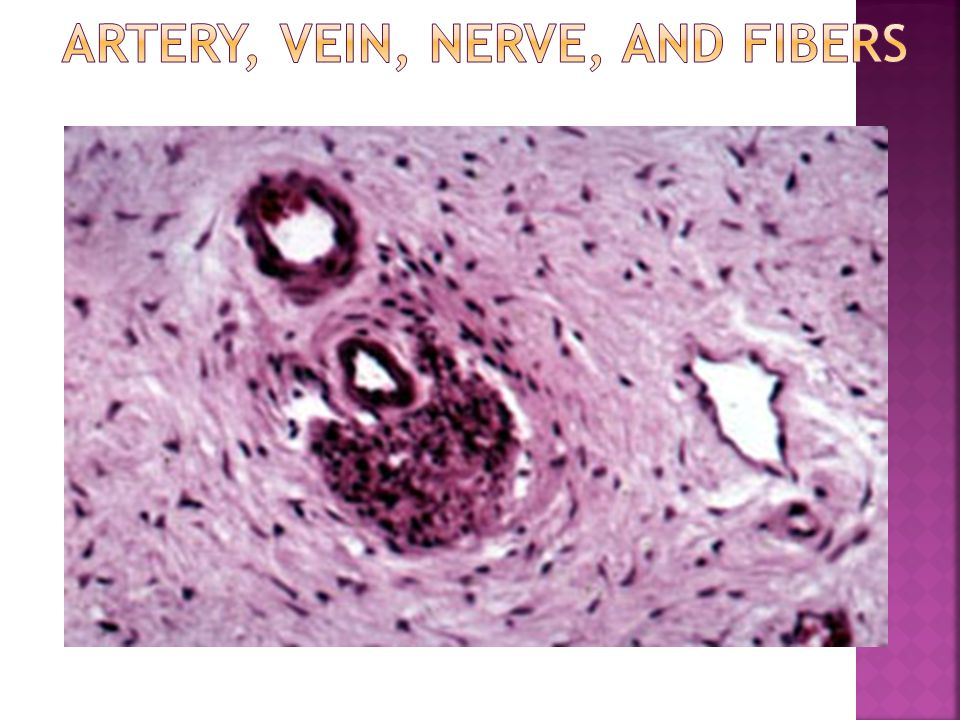 Artery, vein, nerve, and fibers