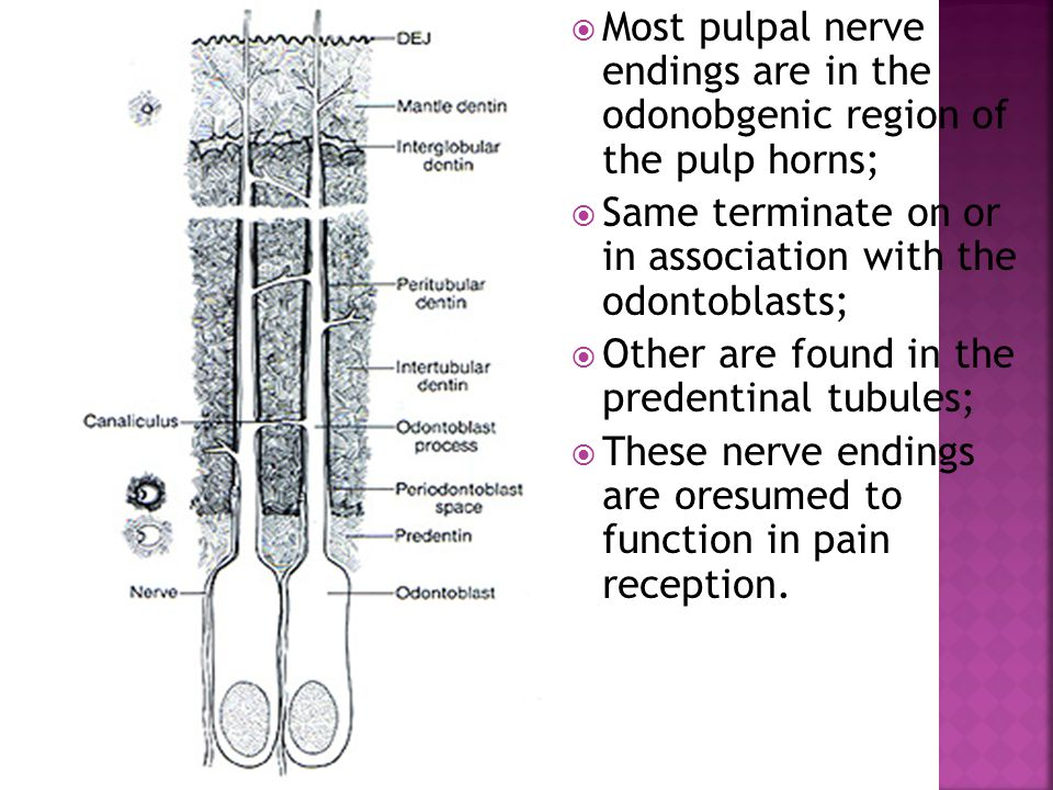 Most pulpal nerve endings are in the odonobgenic region of the pulp horns;